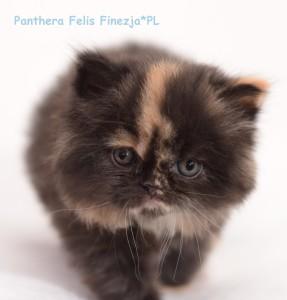 panthera1